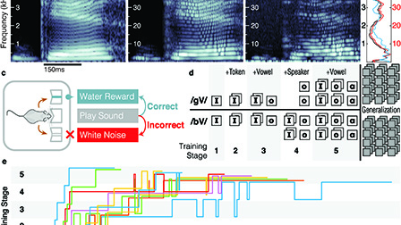Mice can learn phonetic categories: The Journal of the